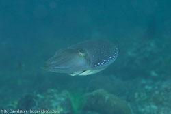 BD-151226-Dauin-0377-Sepia-latimanus.-Quoy---Gaimard.-1832-[Broadclub-cuttlefish].jpg